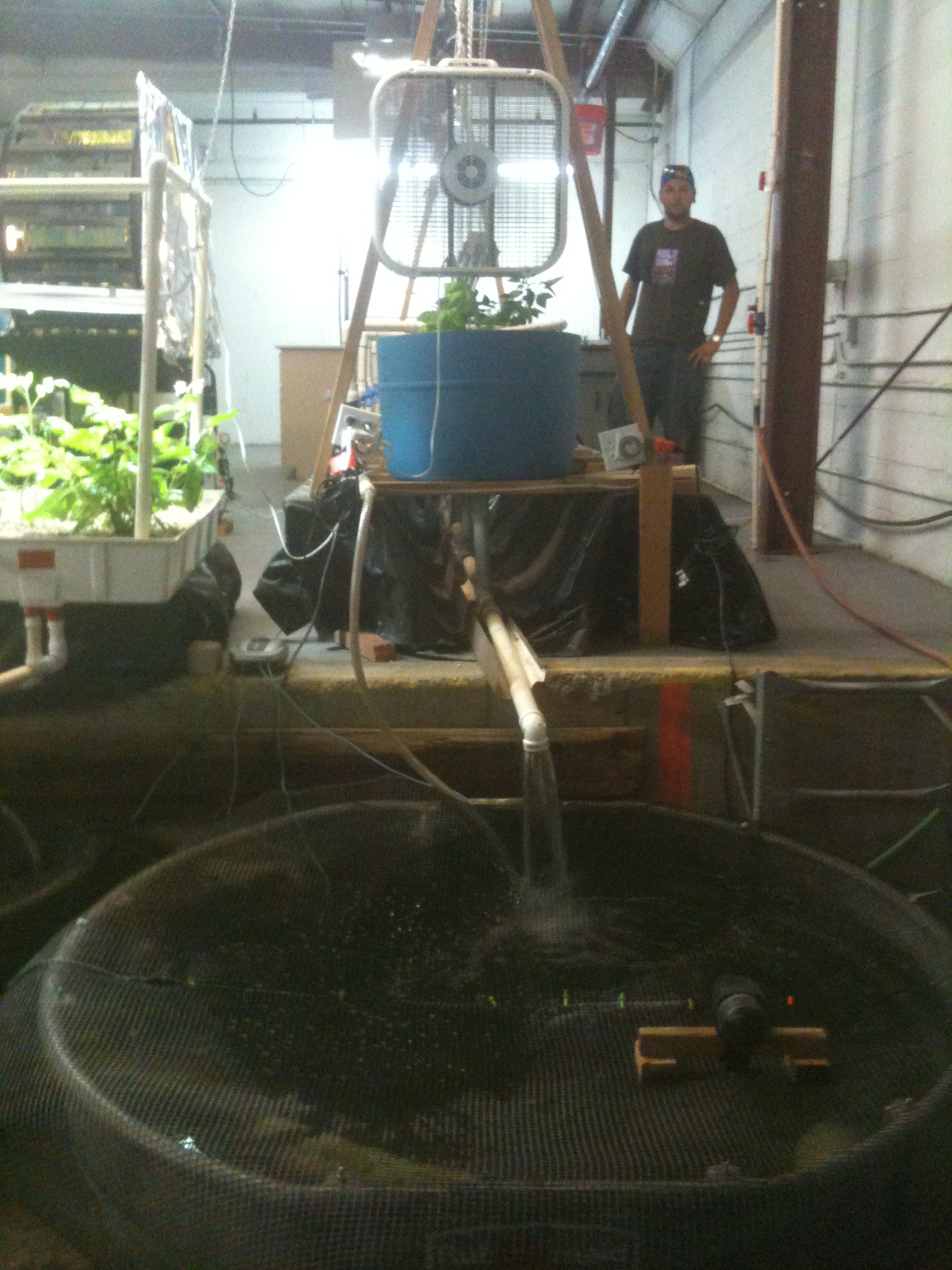 System 1 at Campion Warehouse.  300 gal. fish tank with trout and tilapia. Flood and Drain Aquaponics.