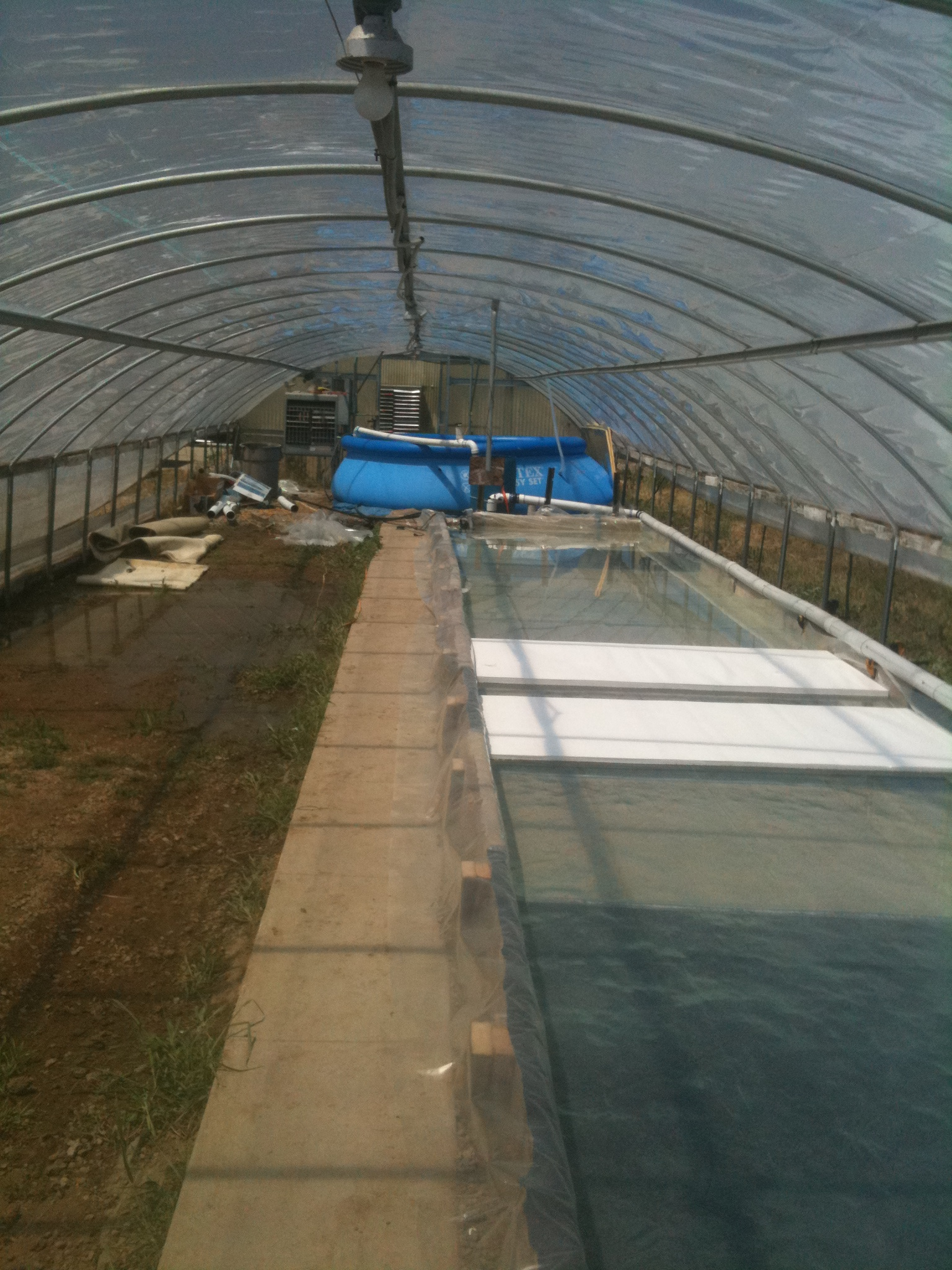 Another view of our ~80'x8' raft plant bed in our new aquaponic system in our Northern Colorado greenhouses.